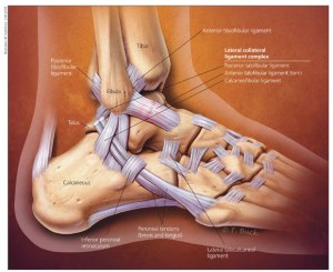 http://www.hss.edu/images/articles/ankle-anatomy-jmm.jpg