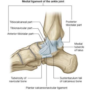 A review of the ankle and foot part 1 anatomy ptbraintrust httpsclassconnections3azonaws906flashcards ccuart Images