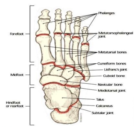 A Review Of The Ankle And Foot Part 1 Anatomy Ptbraintrust